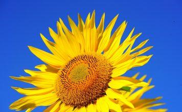 Aurinkokukka